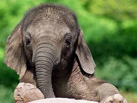 Ismered az elefántod?
